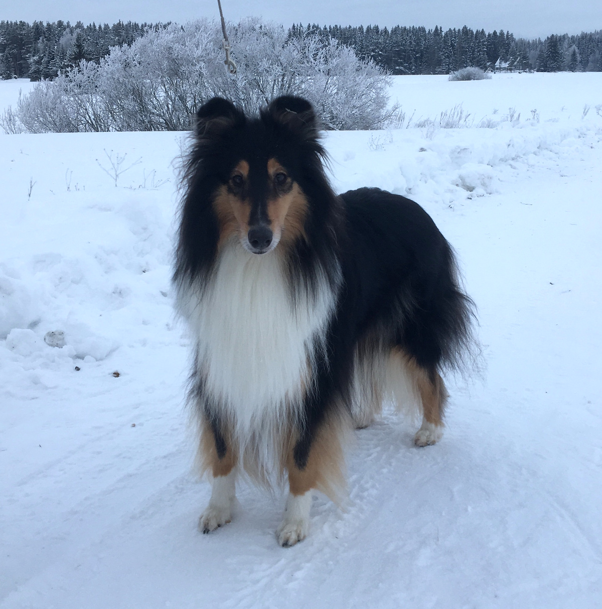 Pitkäkarvainen collie, Ruffenuff Three Wishes